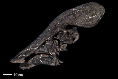 Image of the skull of 'Tlatolophus galorum'.