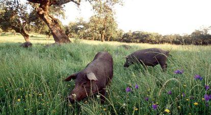 Una piara de cerdos alimentándose en el campo en Extremadura.