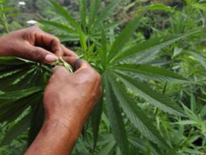 El nuevo instituto se encarga de distribuir permisos de cultivo y de registrar a los consumidores de marihuana.