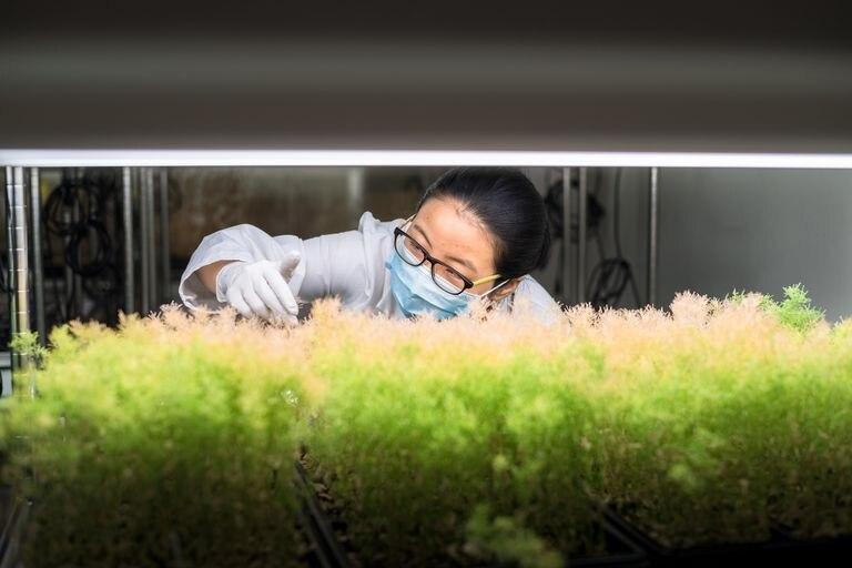 Una científica examina plantas transgénicas en China.