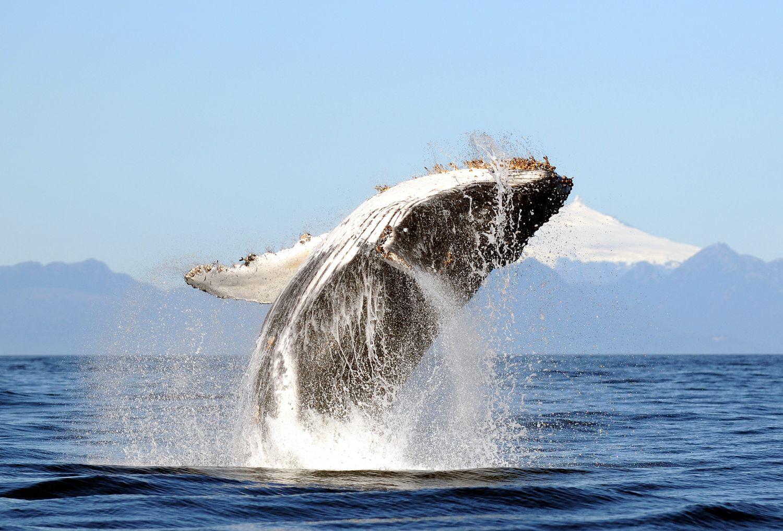 Una ballena jorobada salta frente a un volcán de Chile. R. Hucke-Gaete (UACH/CBA)