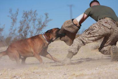 Un perro de presa en un ejercicio con los Marines de EE UU en 2009