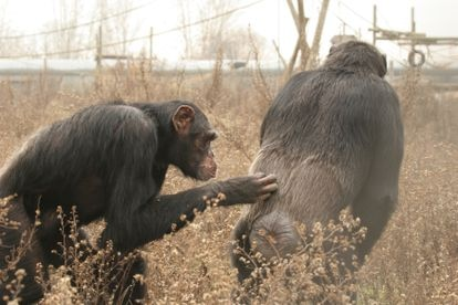 EL chimpancé Víctor jugando con su amigo Tico en la Fundación Mona.