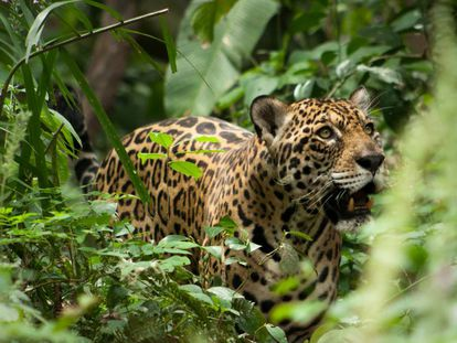 Un jaguar residente en el refugio de fauna salvaje Inti Wara Yassi, en Bolivia.