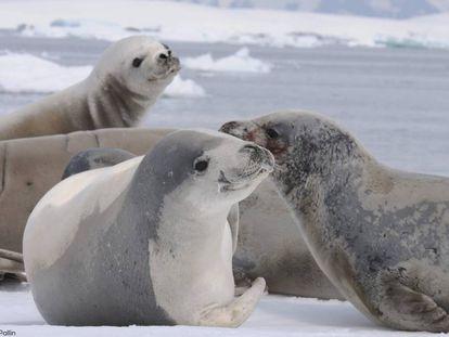 Focas cangrejeras, en la costa de la península antártica.
