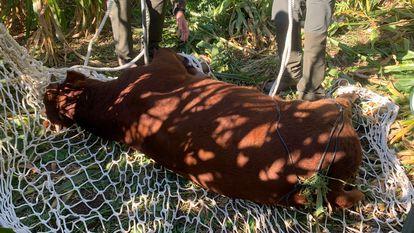 Uno de los becerros encontrados a punto de ser trasladado de nuevo a la granja.