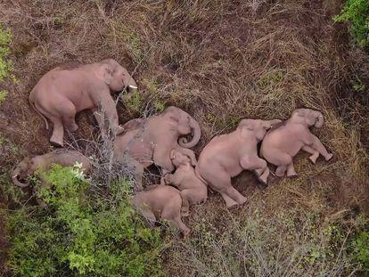 Elefantes que forman parte de una manada que se había alejado 500 kilómetros de su hábitat natural, descansando en un bosque cerca de Kunming, en la provincia suroccidental china de Yunnan, en una imagen tomada de un vídeo difundido por la Televisión Central de China (CCTV) el 7 de junio de 2021.