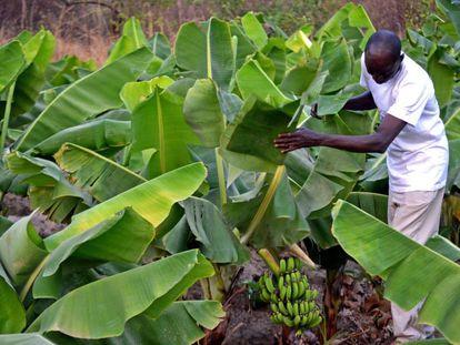 Kalilu Jammeh enseña los primeros plátanos de los bananeros de Jirong, con los que espera crear oportunidades para los jóvenes de su país.
