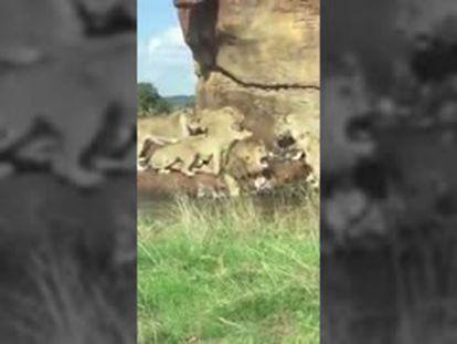 Un grupo de leonas ataca a un macho delante de unos turistas en un safari en el Reino Unido