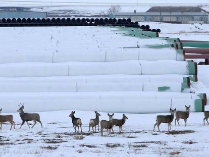 Ciervos en Gascoyne, Dakota del Norte, donde se almacenan las tuberías para el oleoducto Keystone XL