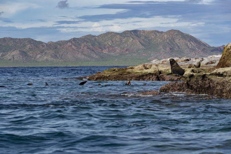 Lobos marinos en la costa mexicana del Pacífico.