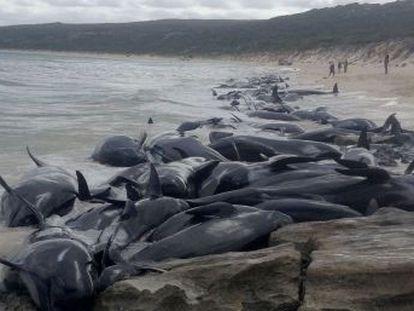 Solo seis de los ejemplares varados en Hamelin han podido ser devueltos al mar