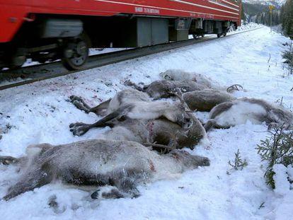 Renos muertos tras ser atropellados por un tren en Noruega.