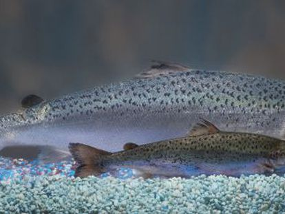 Un salmón transgénico, el más grande, junto a uno salvaje de su edad.