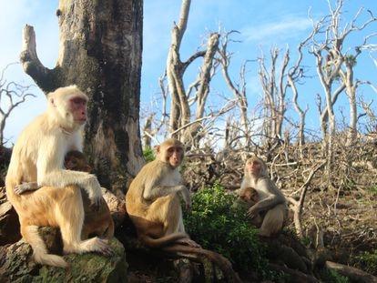 Un grupo de macacos en Cayo Santiago tras el paso del huracán María.