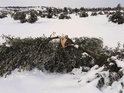Cultivos de olivo afectados por el temporal de nieve y frío, este lunes.