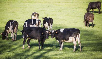 Vacas en una explotación de Lugo