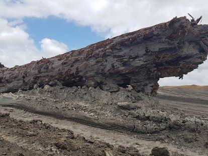 Este tronco de un kauri de hace miles de años ha permitido fechar y medir el impacto de la última excursión magnética de los polos.