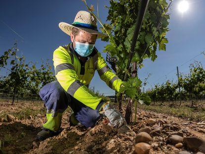 Un hombre supervisa las viñas del Grupo Yllera en Rueda.