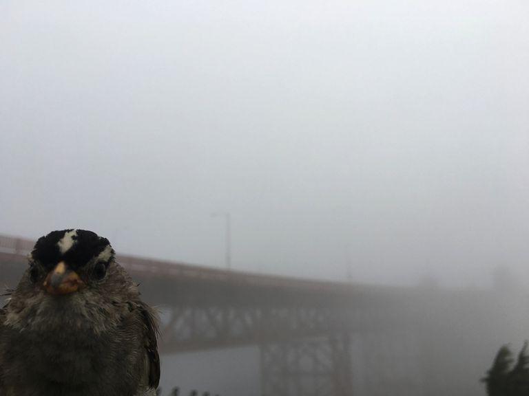 Un gorrión de corona blanca en frente del Golden Gate en San Francisco/JN Phillips