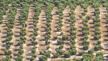 Un campo de olivos.
