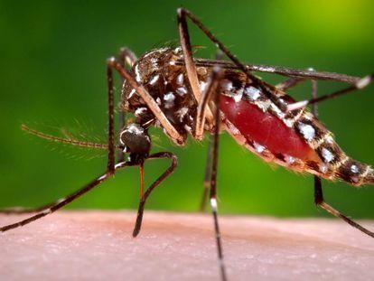 Hembra del mosquito Aedes aegypti, transmisor de la fiebre del Nilo.