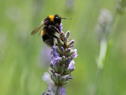 A diferencia de las abejas, los abejorros siempre acuden a las mismas flores.
