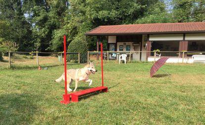 El perro imita los movimientos del humano. Salta también el obstáculo.