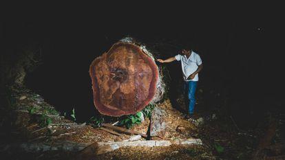 Uno de los árboles centenarios talado ilegalmente en la selva peruana.