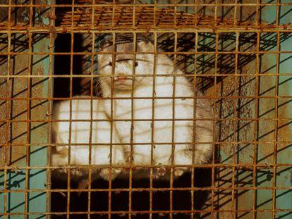 Un ejemplar de visón en las jaulas de la granja donde se encontraron animales contagiados de covid, en la provincia de Brabante, en Holanda.