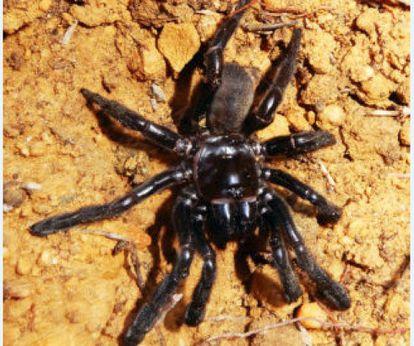 La araña de la especie Giaus Villosus considerada la más vieja del mundo.
