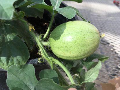 Un melón de Kordofán, presunto 'padre' de la sandía.