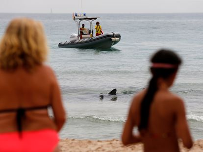 Un ejemplar de tintorera, un tipo de tiburón, ha aparecido desorientado este jueves en aguas de la playa de Poniente de Benidorm (Alicante).