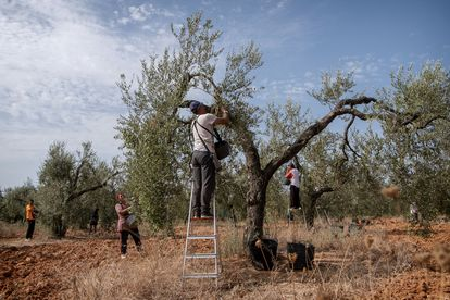 Temporeros faenan en un olivar en Sevilla.