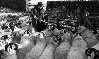 Un granjero lee identificadores electrónicos colocados en las ovejas con un bastón habilitado para ello.