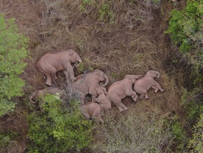 Wild Asian elephants lie on the ground and rest in Jinning district of Kunming, Yunnan province, China June 7, 2021. A herd of 15 wild elephants has trekked hundreds of kilometres after leaving their forest habitat in Xishuangbanna National Nature Reserve, according to local media. Picture taken June 7, 2021 with a drone. China Daily via REUTERS  ATTENTION EDITORS - THIS IMAGE WAS PROVIDED BY A THIRD PARTY. CHINA OUT.     TPX IMAGES OF THE DAY