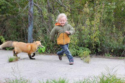 Una niña juega con uno de los zorros domesticados del Instituto Ruso de Citología y Genética.