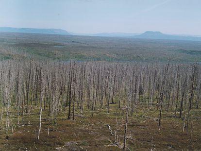 Los árboles están muriendo en decenas de kilómetros a la redonda de la ciudad minera de Norilsk (Siberia).
