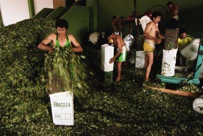 Campesinos cocaleros laboran en uno de los centro de Enaco en Ayacucho, Perú.