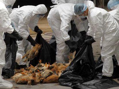Trabajadores sanitarios empaquetan pollos muertos por el virus H5N1.
