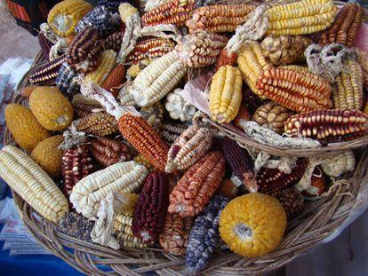 Variedades del maíz que se cultiva hoy en el Valle Sagrado de los Incas, en los Andes peruanos.