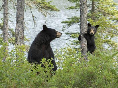 Un oso negro adulto vigila a su cachorro en el Parque Nacional La Mauricie, en la provincia de Quebec, Canadá.