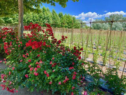 Tomateras y rosales, indisolublemente unidos en La Huerta de Carabaña.