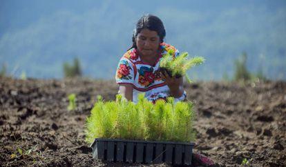 La empresa resinera mexicana Ejido verde asegura plantar un promedio de 6.000 pinos diarios.