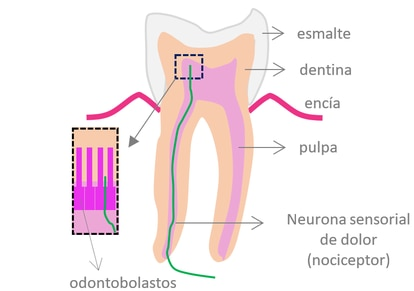 Dibujo de las capas internas del diente.