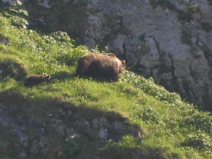 Una osa con dos cachorros, el jueves en el Parque Natural de Somiedo