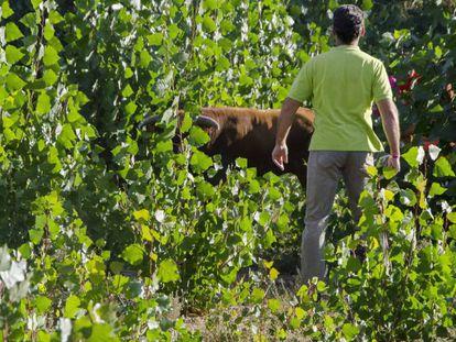 El toro escapado del encierro en Arcas, en el campo antes de ser abatido / En vídeo, un toro se sale del recorrido de un encierro en Arcas y arrolla a dos mujeres
