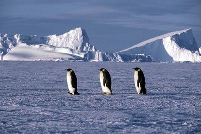 Tres pingüinos emperador, en una imagen del documental