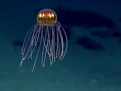 La medusa avistada en la fosa de las Marianas.