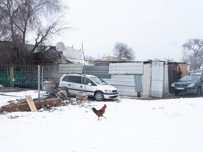 Un gallo cruza una calle nevada en la Cañada Real.